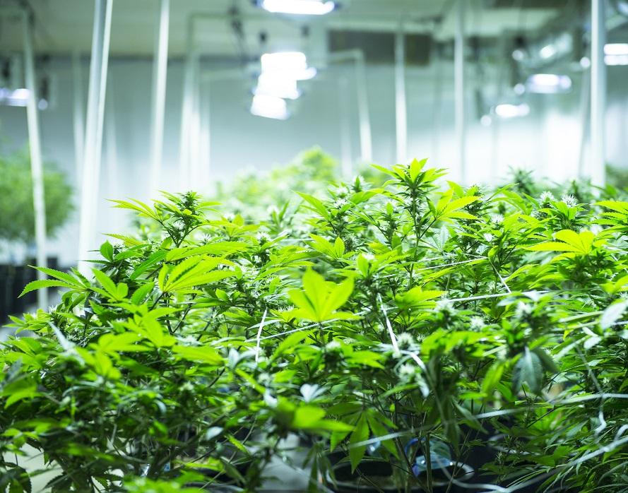 Medical / Recreational Cannabis Cultivation, Extraction & Dispensary Facility